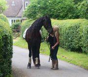 Friesian Horse for adoption